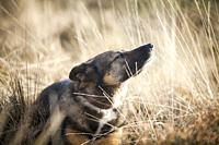 Shepherd and East Siberian Laika mix rescue dog enjoying the sun in a heath, moorland.