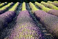lavender fields of Tricastin, between Grignan and Salle sous Bois. the drôme, france.