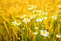 Chamomile at a field of barley in Germany.
