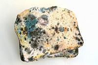 Black bread mold (Rhizopus stolonifer or Rhizopus nigricans) colonizing bread.