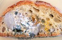 Rhizopus stolonifer or Rhizopus nigricans colonizing bread.