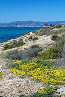 MALLORCA, SPAIN - MARCH 17, 2019: Wild yellow spring flowers, blue Mediterranean sea and group of people on March 17, 2019 in Mallorca, Spain.