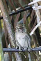 Asia, Indonesia, Borneo, Tanjung Puting National Park, Crab-eating macaque or long-tailed macaque (Macaca fascicularis), adlut male near by the water.
