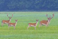 Fallow deers (Cervus dama) in summer, Hesse, Germany, Europe.