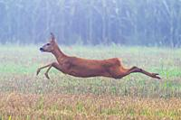 Western Roe Deer (Capreolus capreolus), Doe, Hesse, Germany, Europe.