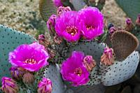 The beavertail cactus in bloom in Palm Springs, California, USA.