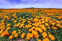 California Poppies (Eschscholzia californica) and Goldfield (Lasthenia californica), Antelope Valley, California USA.