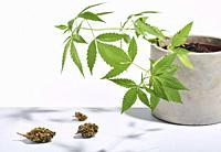 Marijuana buds and marijuana bush isolated on white background. Studio shot.
