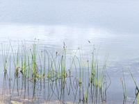 cluster of reeds in the quiet waters of a farm dam.