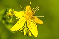 St. John wort, medicinal plant with flower.
