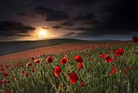 A field of Poppies - Papaver rhoeas during sunset on the South Downs National Park, East Sussex, England, Uk, Gb.