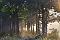 brume matinale dans une pinede du Parc naturel regional Loire Anjou Touraine, environs de Langeais, departement Indre-et-Loire, region Centre-Val de L...