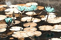 Simulated infrared photo of waterlilies in Terra Nostra Park. Furnas, Azores islands.