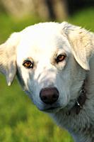 Portrait of a white Labrador retriever.
