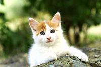 Front view of a beautiful white and red kitten lying on a stone outdoors.