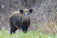 Wild boar (Sus scrofa), Tusker, Germany, Europe.