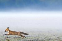 Running red fox (Vulpes vulpes) on misty meadow, Hesse, Germany, Europe.