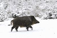 Wild boar (Sus scrofa) in wintertime, Tusker, Bavaria, Germany, Europe.