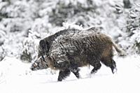 Wild boar (Sus scrofa) in wintertime, Tusker, Bavaria, Germany, Europe.