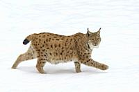 European Lynx in Winter, Lynx lynx, Bavarian Forest National Park, Germany, Europe.