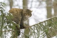 Wildcat (Felis silvestris) in Wintertime, Germany, Europe.