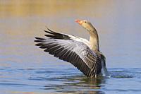 Greylag goose, Anser anser, Germany, Europe.