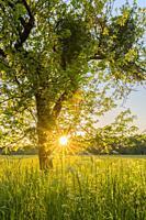 Apple tree at sunset, Hesse, Germany, Europe.