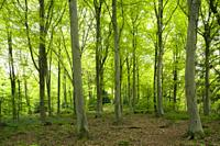 A broadleaf woodland in spring at Leigh Woods near Bristol, North Somerset, England.
