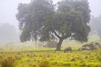Meadow and Iberian pigs in the mist. Valle de los Pedroches, Cordoba province, Andalucia, Spain.
