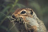 An Arctic Ground Squirrel (Uroticellus parryii) collects gras for it's nest. Yukon Territory, Canada.
