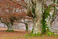 Beech wood. Entzia natural park, near Andoin, Alava, Spain