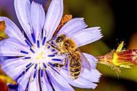 bee on wild cichory flower.