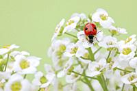 ladybird, Coccinellidae, on sweet alison flowers, Lobularia maritima, Switzerland.