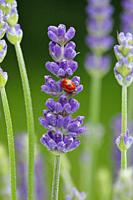 ladybird, Coccinellidae, on lavender, Switzerland.