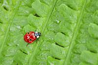 ladybird, Coccinellidae, on fern, Switzerland.