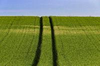 Hirtshals, Denmark Fields of wheat.