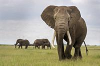 African elephant (Loxodonta africana) bull standing in front of herd, looking at camera, Amboseli national park, Kenya.