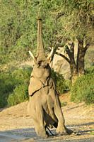African Elephant, Desert-adapted Elephant (Loxodonta africana) bull eating leaves and twigs of acacia tree, Hoanib desert, Kaokoland, Namibia.