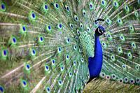Indian peafowl or blue peafowl (Pavo cristatus) - Beacon Hill Park - Victoria, Vancouver Island, British Columiba, Canada.