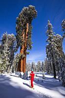 Skier under Giant Sequoias at Circle Meadow, Sequoia National Park, California USA.