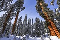 Giant Sequoias in winter at Circle Meadow, Sequoia National Park, California USA.