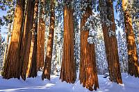 Giant Sequoia in winter, Giant Forest, Sequoia National Park, California USA.