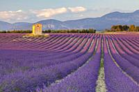 A cottage in a lavender fields, Puimoisson, Provence, South France, France, Europe.
