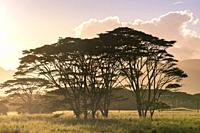 Very big eucalyptus trees on Wailua river. State Park, Kauai island, Hawaii, USA.
