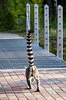 Lemur (native to Madagascar) crossing a bridge.