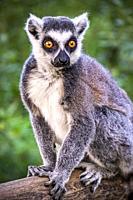 Portrait of a lemur in European nature.