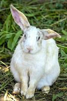 Close up of a white rabbit (Oryctolagus cuniculus).