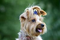 Portrait of a Yorkshire Terrier with pigtail on his head