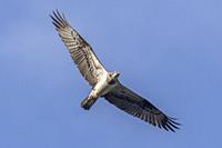 An Osprey in flight over Forellenhof Trauntal.