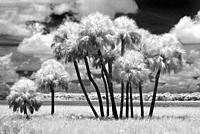 Scene at Myakka River State Park in Sarasota Florida taken as an Infrared red image and converted to black and white.